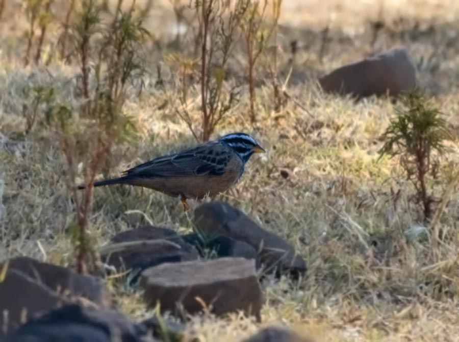 African Rock Bunting