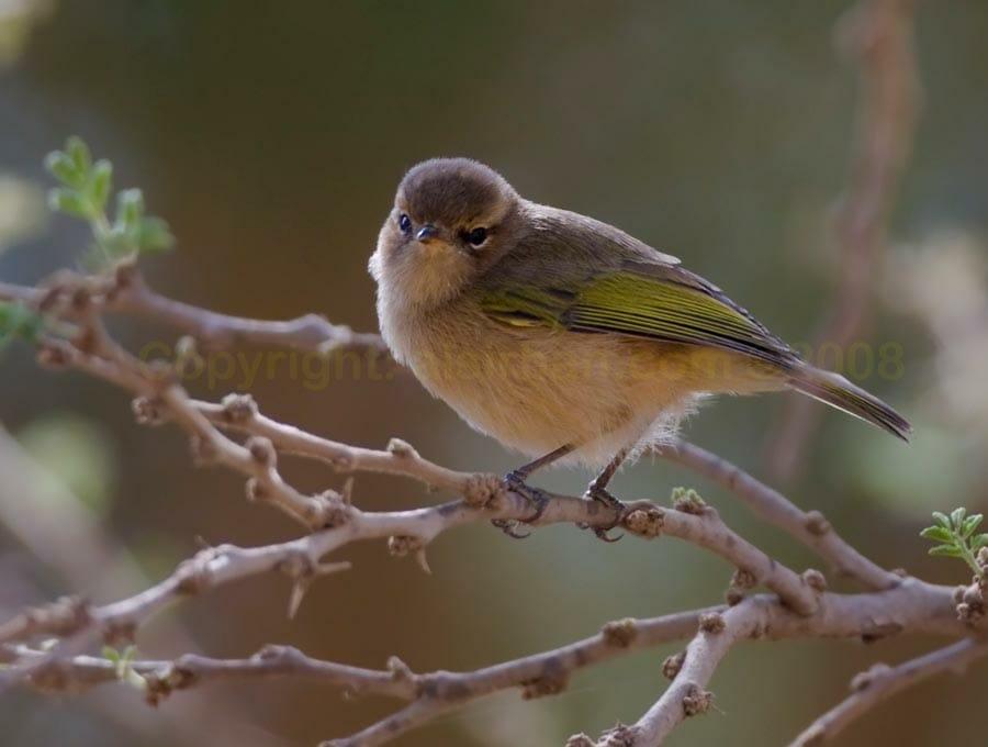 Brown Woodland Warbler