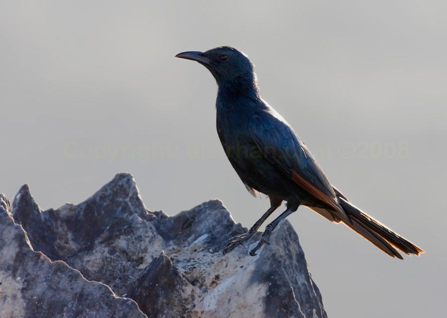 Socotra Starling