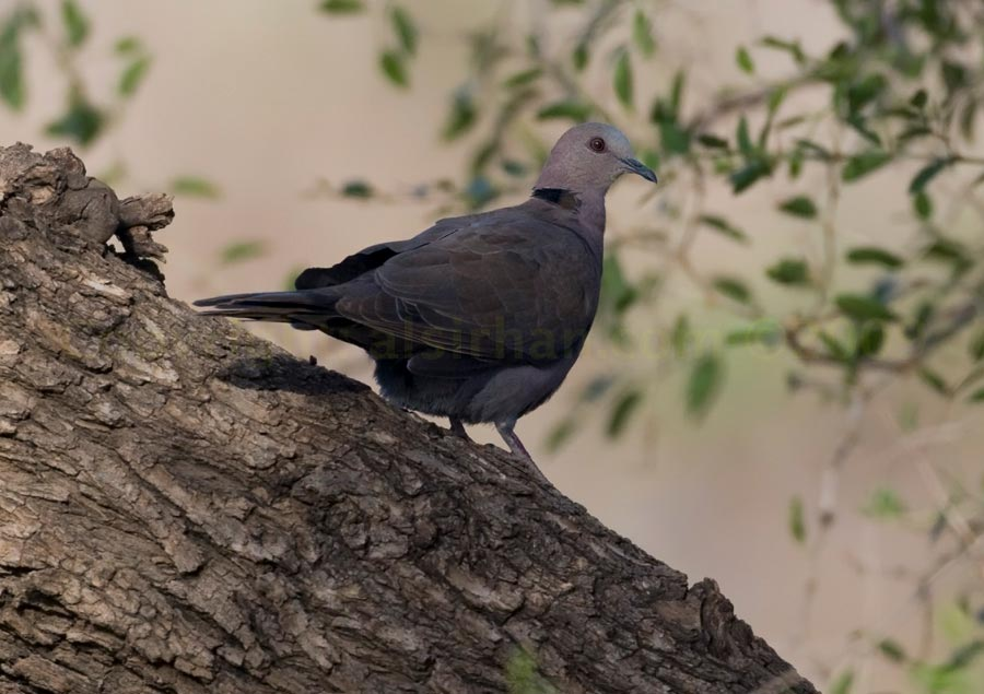 red-eyed_dove_mg_8706
