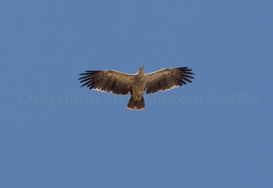 tawny_eagle_mg_8800