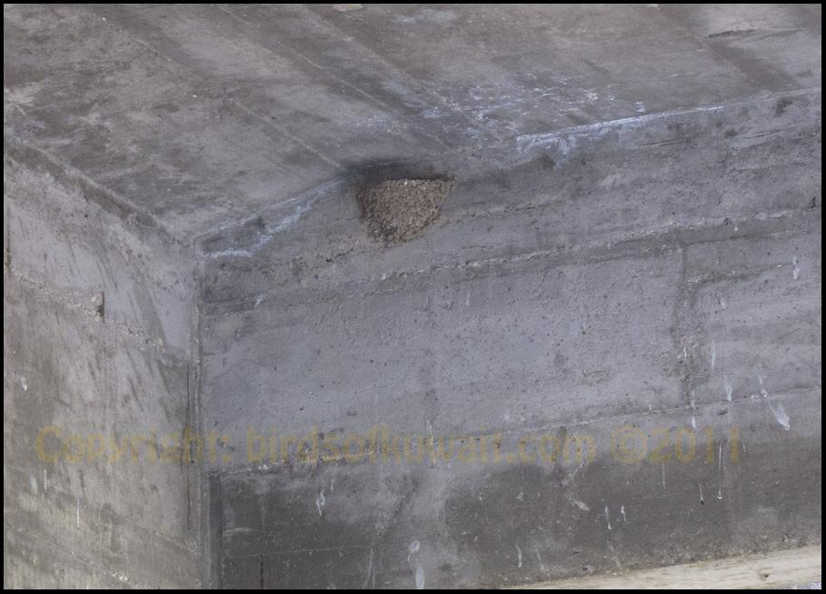 Crag Martin nest under bridge