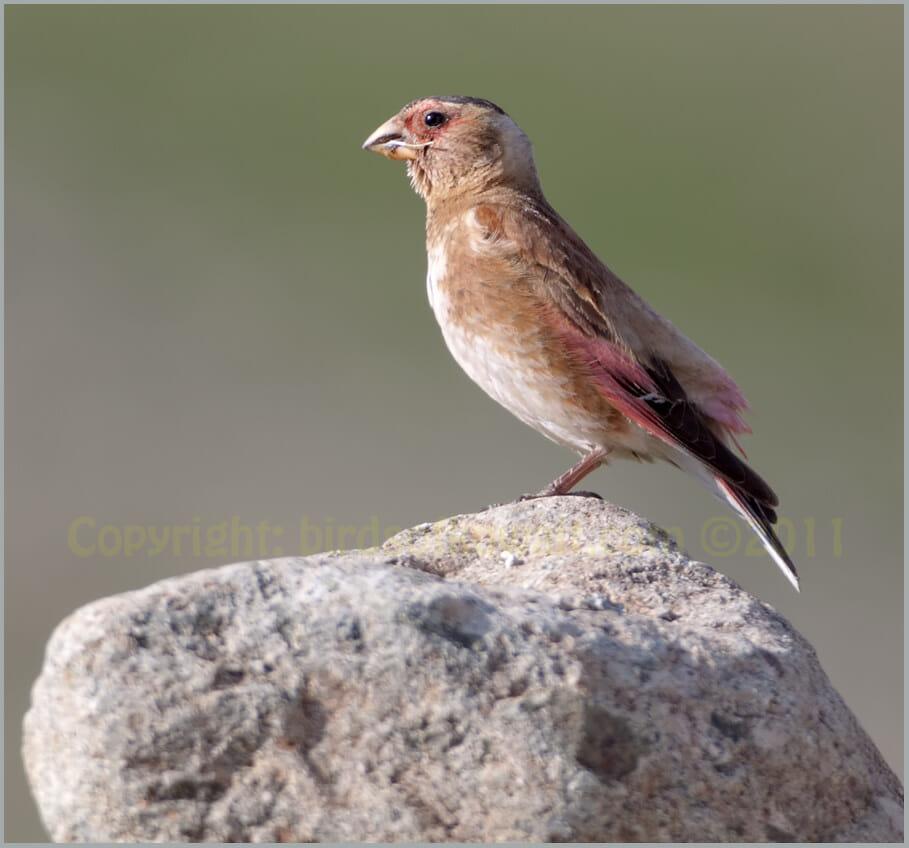 Eurasian Crimson-winged Finch Rhodopechys sanguineus