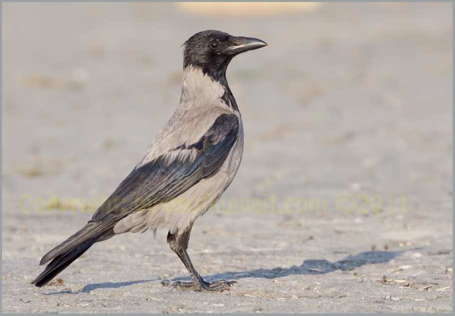 Hooded Crow Corvus cornix