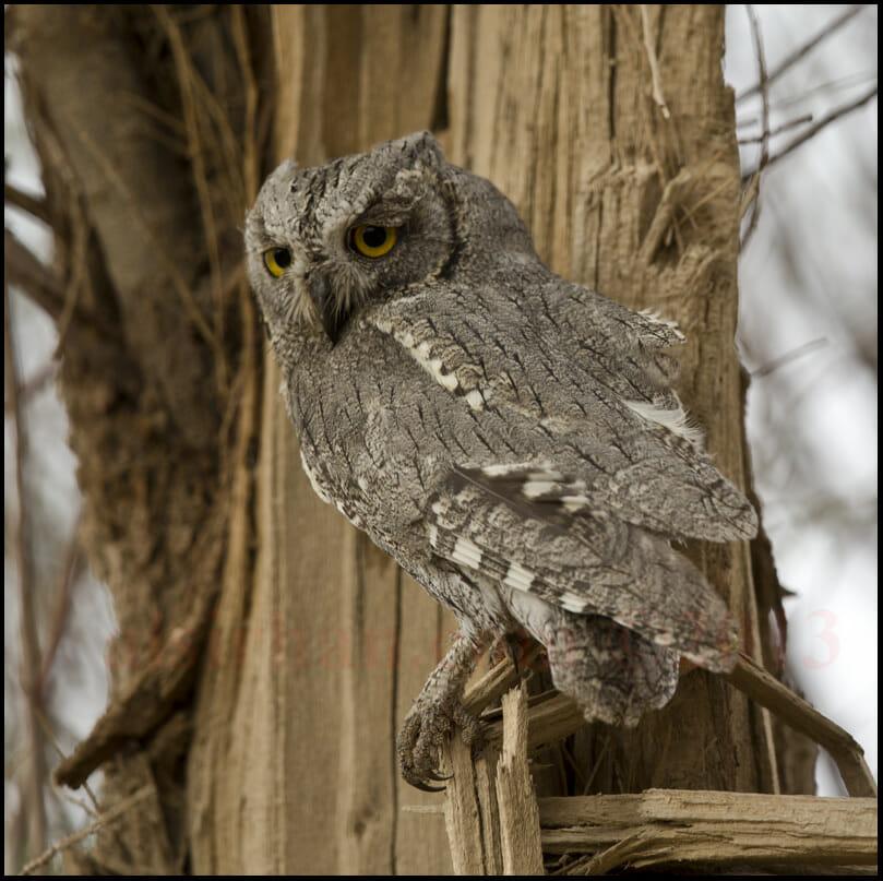 Pallid Scops Owl Otus brucei