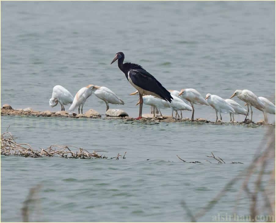 Abdim's Stork - Ciconia abdimii