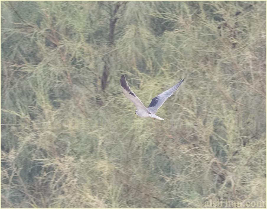 Black-winged Kite - Elanus caeruleus caeruleus
