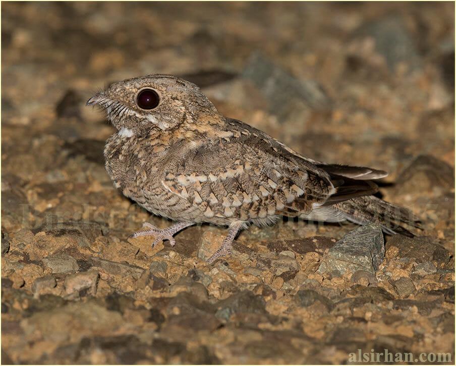 Nubian Nightjar - Caprimulgus nubicus