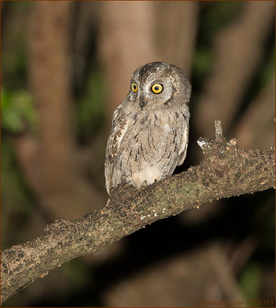 Arabian Scops-Owl (Otus pamelae)