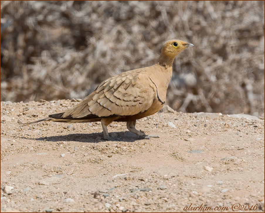 Chestnut-bellied Sandgrouse Pterocles exustus