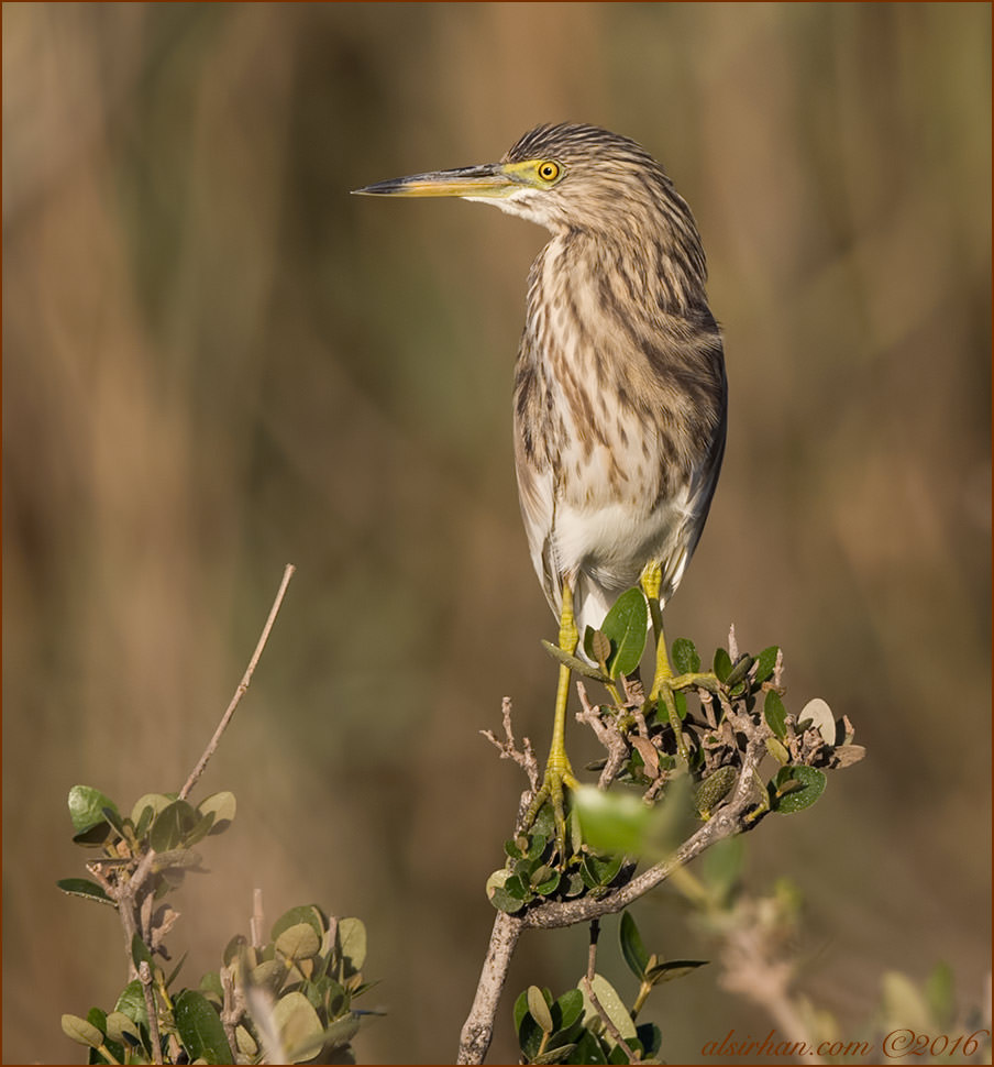 Indian Pond Heron Ardeola grayii