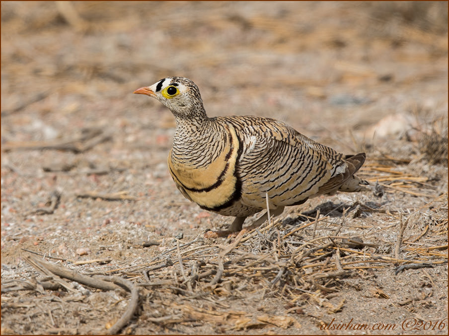 Lichtenstein's Sandgrouse Pterocles lichtensteinii