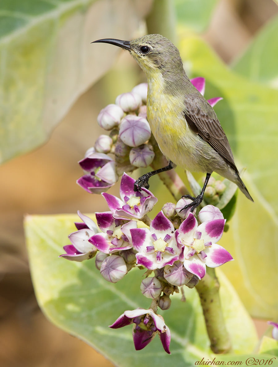 Purple SunbirdCinnyris asiaticus