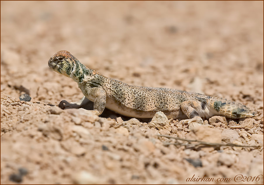 Thomas' Spiny-tailed Lizards Uromastyx thomasi
