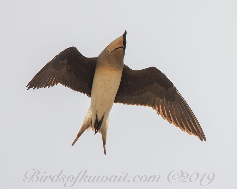 Black-winged Pratincole Glareola nordmanni