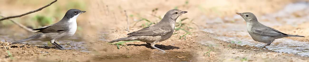 Bird Sightings from Kuwait